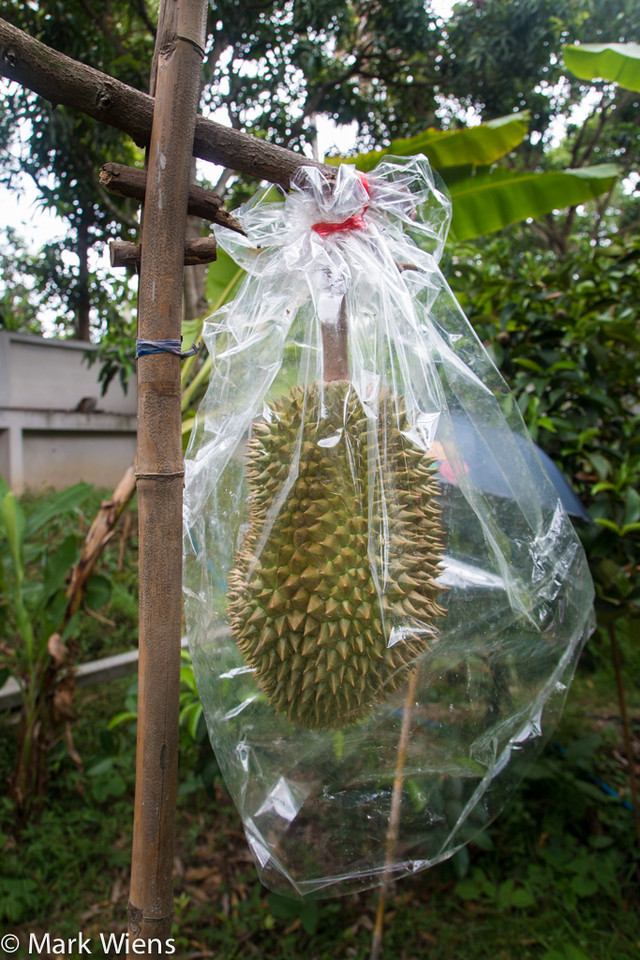 Growing durian